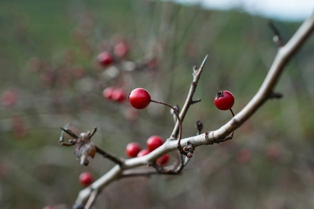 Colpo del primo piano di un ramo di albero di winterberry su uno sfondo sfocato