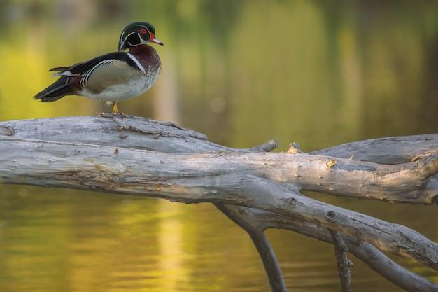 Closeup shot of a wood duck standing on a broken tree