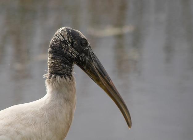 Closeup shot of a wood stork