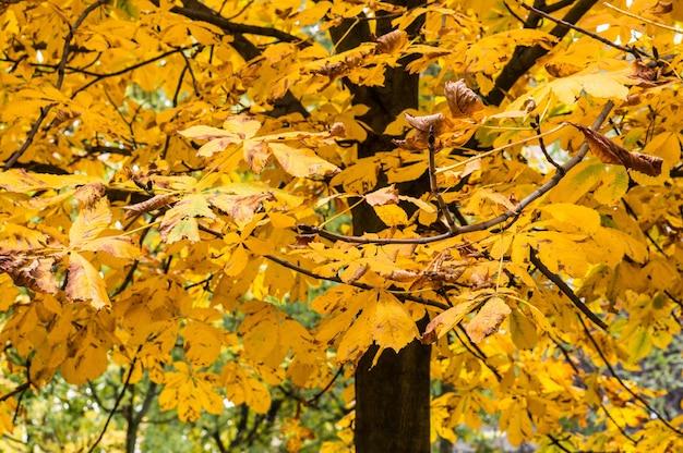Colpo del primo piano delle foglie gialle di autunno su un albero