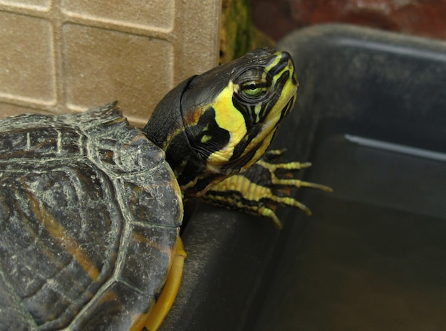 Closeup shot of a yellow-bellied slider