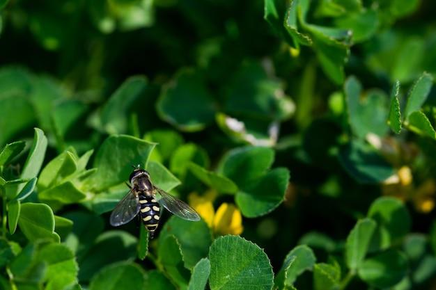Colpo del primo piano di una mosca gialla e nera sulle foglie verdi dell'acetosa del capo