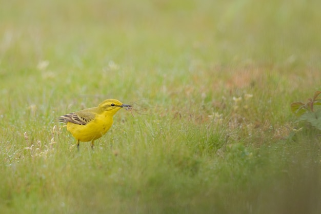Closeup shot of a yellow domestic canary on a green field