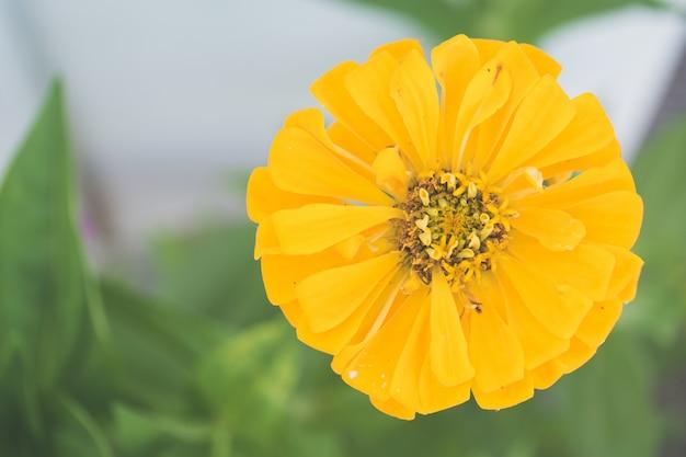Colpo del primo piano di una crescita di fiore gialla nel giardino