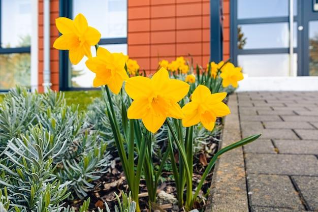 Colpo del primo piano dei fiori gialli del narciso con vegetazione