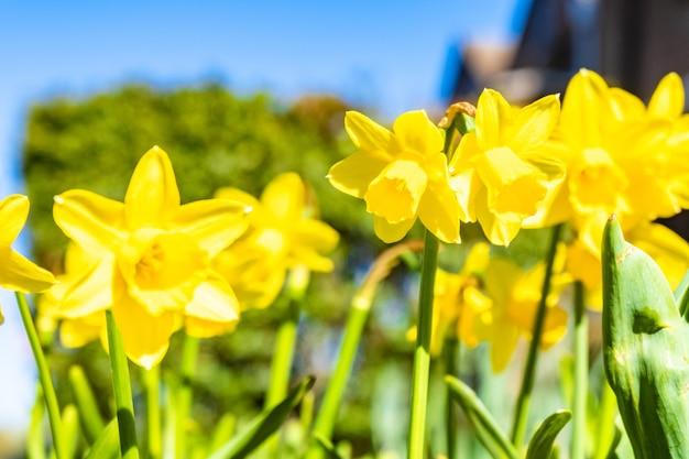 Closeup colpo di narcisi gialli sotto la luce del sole