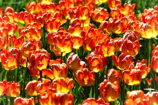 Colpo del primo piano dei fiori gialli e rossi con uno sfocato di giorno