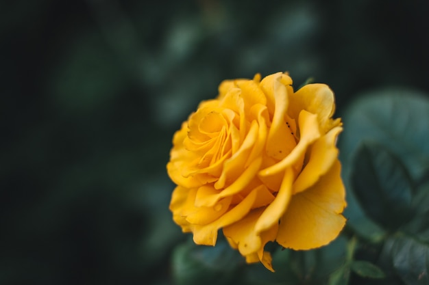Closeup shot of a yellow rose during daytime