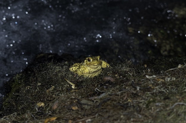 Closeup shot of a yellow toad with bulging red eyes on a blurred background