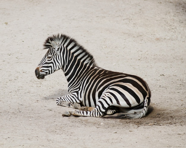 Closeup shot of a young zebra lying on the ground