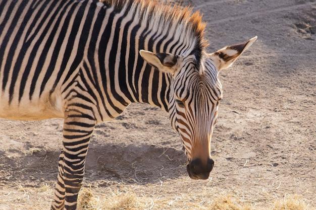 Colpo del primo piano di una zebra che mangia fieno in uno zoo