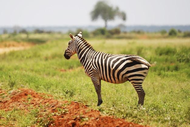 Colpo del primo piano di una zebra nella prateria del parco nazionale orientale di tsavo, kenya, africa