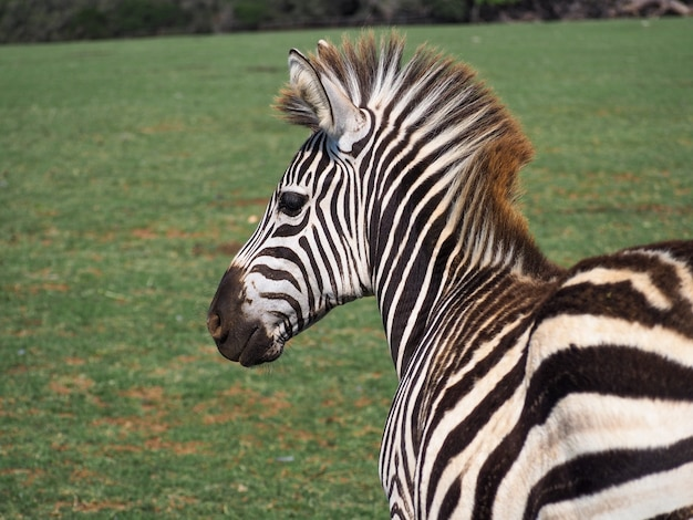 Primo piano di una zebra allo stato brado