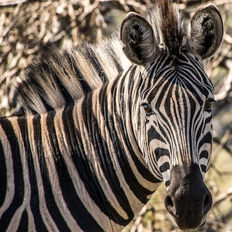 Colpo del primo piano di una zebra