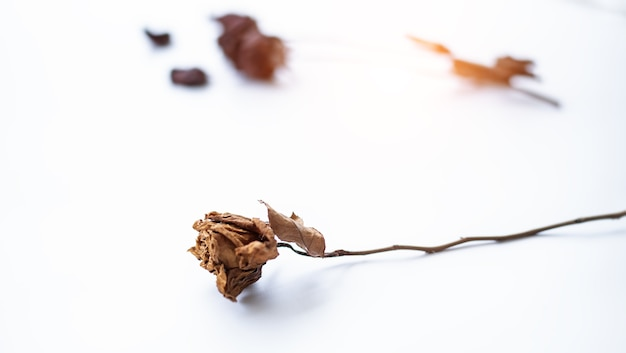 Closeup single dried rose put on white background, blurry light design background.