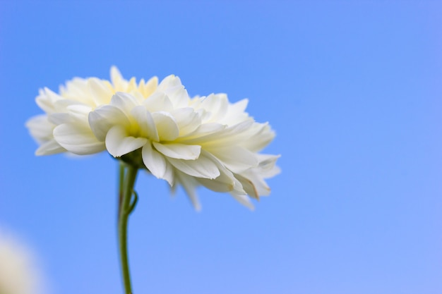 Closeup single white chrysanthemum flower in the blue background of the sky