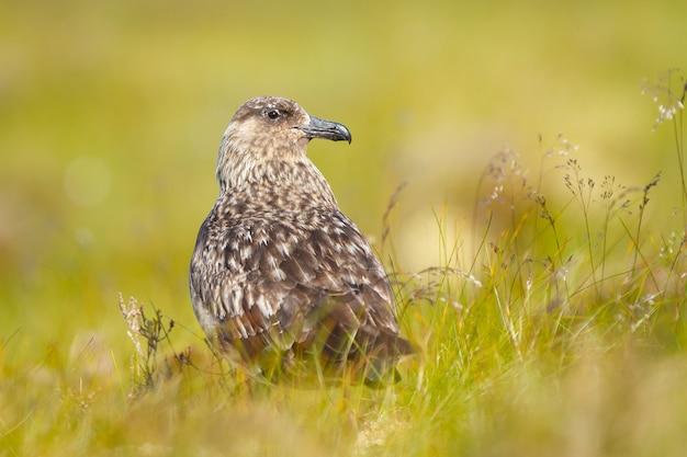 Primo piano di un uccello skua nei campi durante la luce del giorno