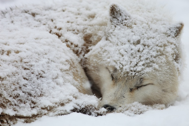 Primo piano di un lupo sonnolento della tundra dell'alaska coperto di neve a hokkaido in giappone