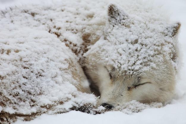Closeup of a sleepy alaskan tundra wolf covered in the snow in hokkaido in japan