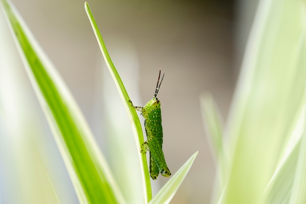 Closeup small fresh green grasshopper perched on the leaves in the thicket.