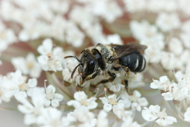 Closeup of a small mining bee andrena colletiformis on a white flower
