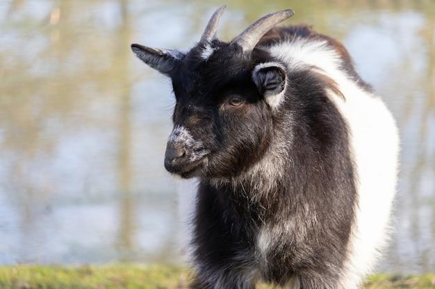 Primo piano di una capra in bianco e nero sorridente con uno stagno in un santuario degli animali