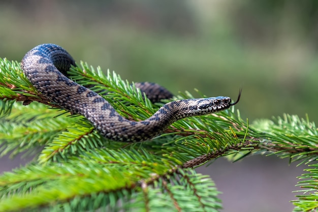 Closeup snake poisonous viper in summer on branch the of tree