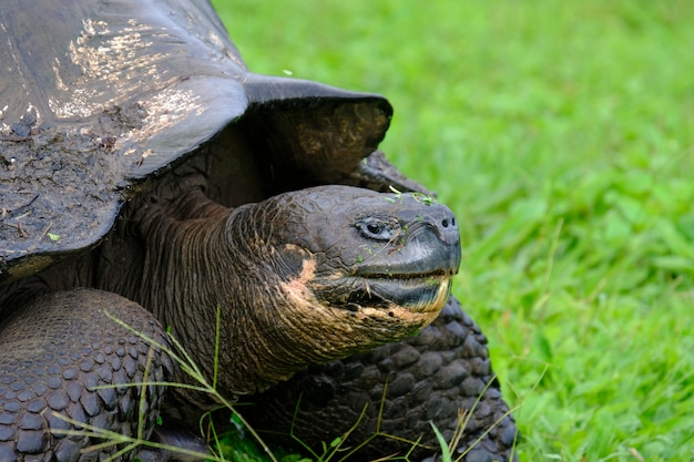 Closeup of a snapping turtle on a grassy field with blurred background