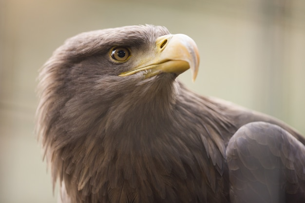 Closeup sot of a golden eagle with a blurred