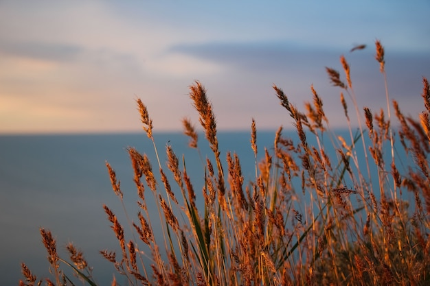 Closeup of spikelets fragrant with selective focus red from the setting sun on a blurry background