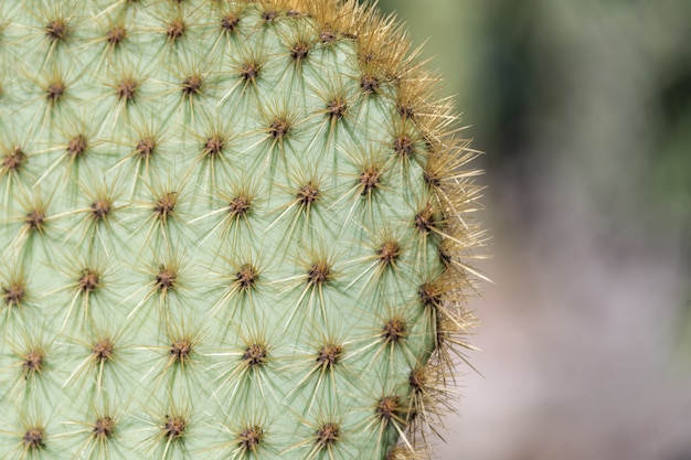 Closeup of spines on cactus, background cactus with spines.