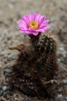 Closeup of a spiny pincushion cactus in a desert garden