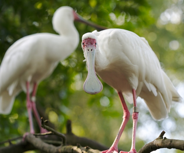 Closeup of spoonbill cranes standing on a tree branch with greenery