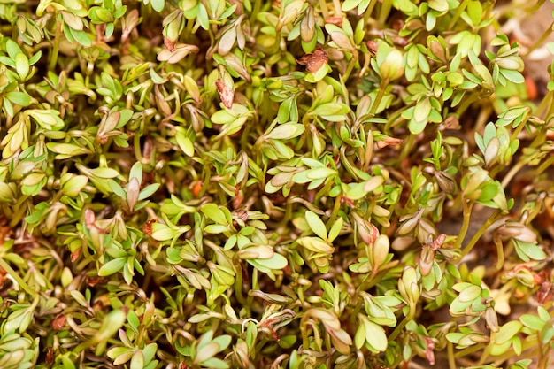 Il primo piano dell'insalata di crescione dei grani germogliati si sviluppa sulla stuoia di tela bagnata.