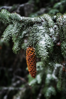 Closeup of a spruce cone hanging from a snowy branch