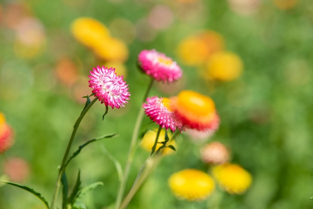A closeup of straw flower or helichrysum bracteatum flowers