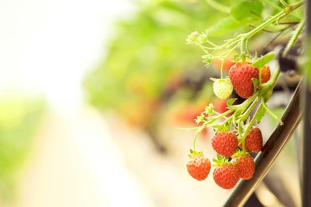 Closeup strawberry in the farm.