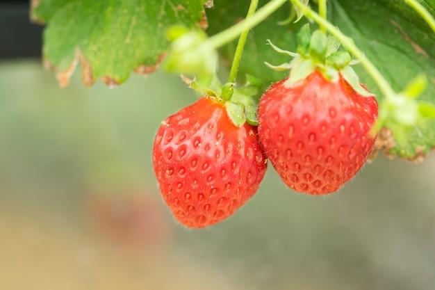 Closeup strawberry in the farm