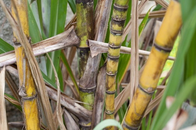 Closeup of sugar cane plantation