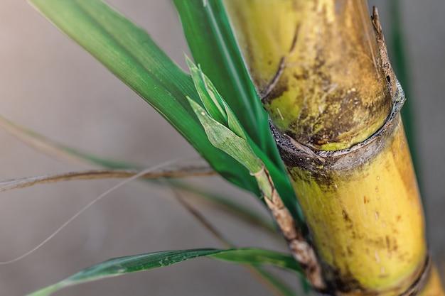 Closeup of sugar cane plantation