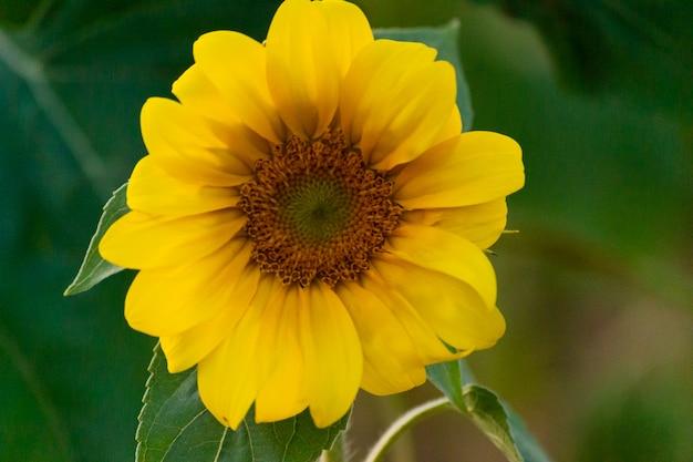 Closeup of sunflower on farm or meadow.