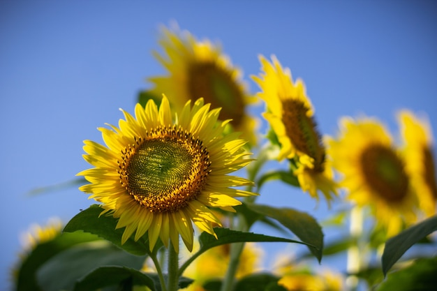 Closeup of a sunflower on a sunny day with a blurred clear blue sky