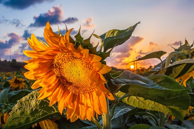 Closeup of sunflower at sunset