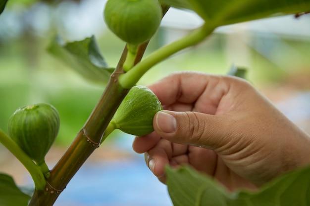 イチジクの木の果物の世話をするクローズアップ