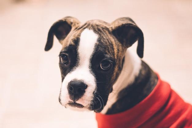Closeup of a terrier puppy wearing a red shirt