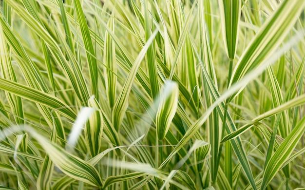아름 다운 긴 잔디 잔디의 근접 촬영 질감