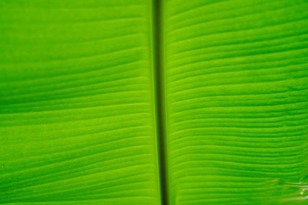 緑のバナナの葉のテクスチャをクローズアップ