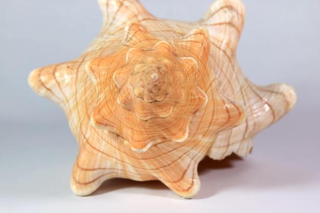 Крупным планом шпиль натуральных полосатых лисиц ракушка