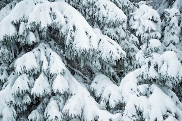 서리가 내린 겨울 날 숲에 근접 촬영 두꺼운 솜털 눈 덮인 전나무 서