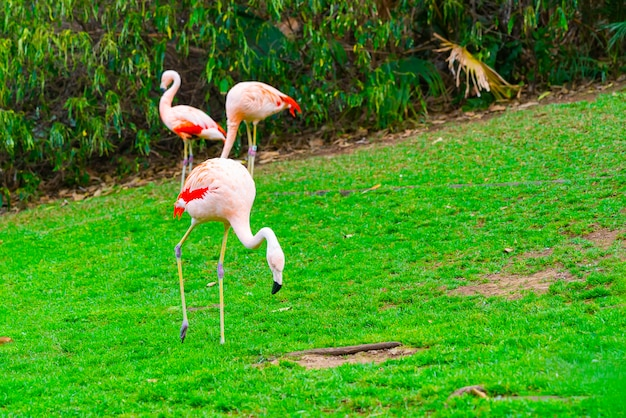 Closeup of three beautiful flamingos walking on the grass in the park